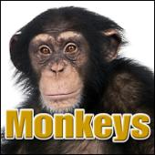 Monkey, Siamang Monkey Monkey, Siamang, Hylobates Syndactylus, Animal, Primates - Monkeys, Chimps, Apes