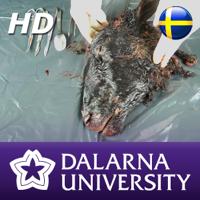 Dissektion av fårhuvud (HD) podcast