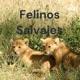Felinos Salvajes