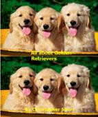 All about Golden Retrievers