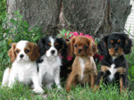 how to take care of a Cavalier King Charles Puppy