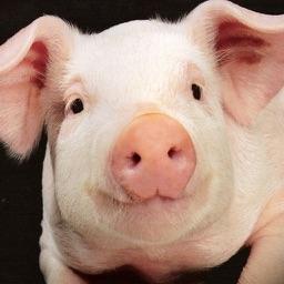 PigSqueals
