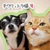 チワワとトラ猫  -凛(リン)と正宗にぃちゃんのほのぼのライフ-
