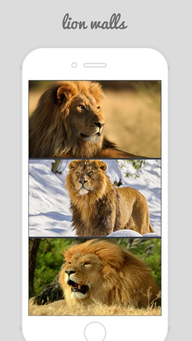 Lion Wallpapers Big Cats