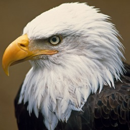 Bald Eagle Cams