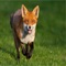 Foxes are small-to-medium-sized, omnivorous mammals belonging to several genera of the Canidae family