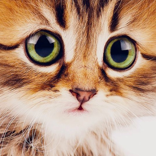 Cute Kitten Cat Обои и Фоны
