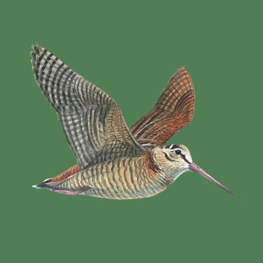 Hunting Decoys and Birdwatching - Bird Sounds