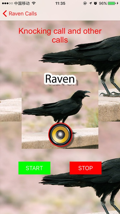 Real Raven Hunting Calls & Sounds