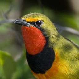 Konkoit Birding