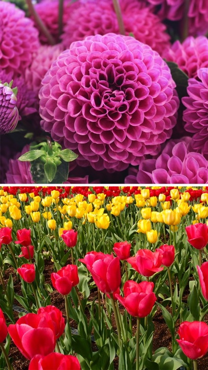 Flower Wallpapers - Beautiful Flowers Wallpaper HD screenshot-4