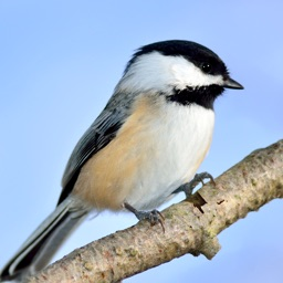 Chickadee Sounds
