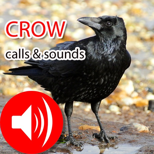 Crow Hunting Calls & Sounds - Real Sounds by Jing Ren