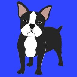 My Boston Terrier