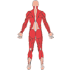 Atlas Músculo-esquelético