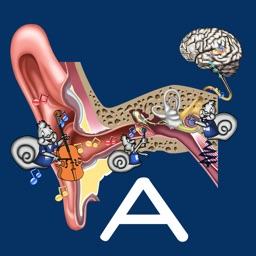 Hearing Anatomy