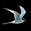 NatureGuides Ltd. - Collins Bird Guide artwork