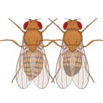 Drosophila X