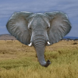 Trumpet - Elephant Sounds