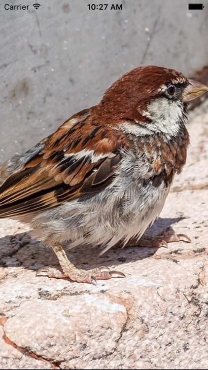 Sparrow Sounds - Free Sounds