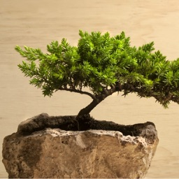 Bonsai for Beginners - How to Start a Bonsai Tree