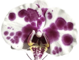 Real Orchids