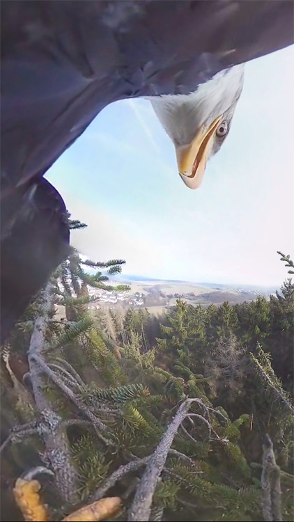 VR Fly With A Real Bald Eagle Virtual Reality 360 screenshot-3