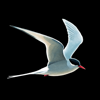 NatureGuides Ltd. - Fågelguiden bild