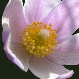 South Dakota Wildflower