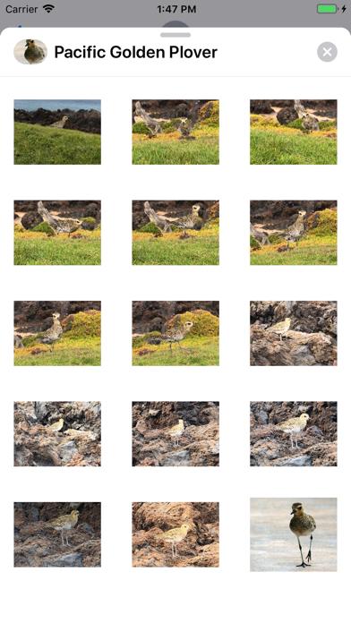 Pacific Golden Plover app image