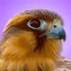 Mitch Waite Group - iBird Pro Guide to Birds artwork
