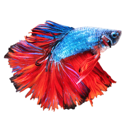 Ícone do app Betta Fish - Virtual Aquarium