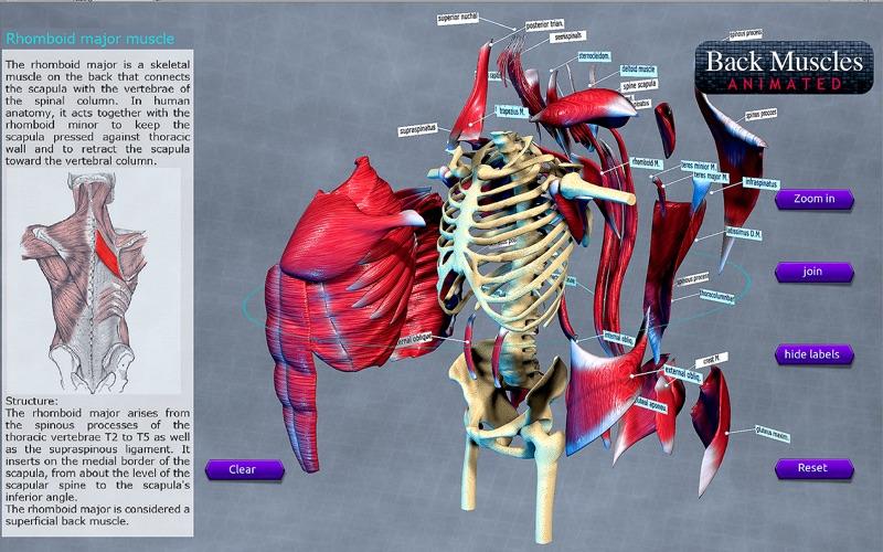 Back Muscles Animated скриншот программы 3