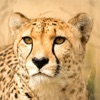 Wild Cats Sounds and Info
