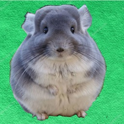 TimePic Chinchilla Talk