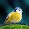Oiseaux en poche - iPhoneアプリ