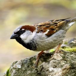 Sparrow Sounds