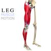 Leg Muscles Motion