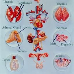 Human Anatomy : Endocrine System