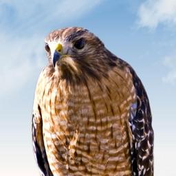 Hawk Sounds!