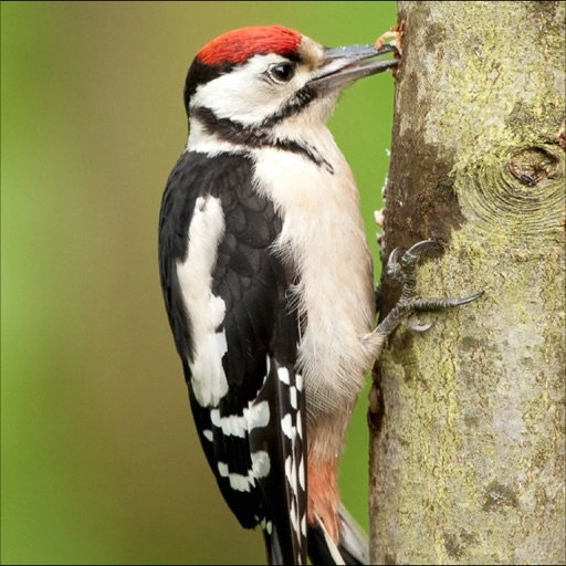 Woodpeckers Info icon