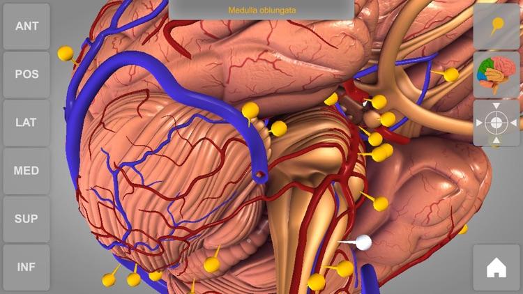 Brain - 3D Atlas of Anatomy