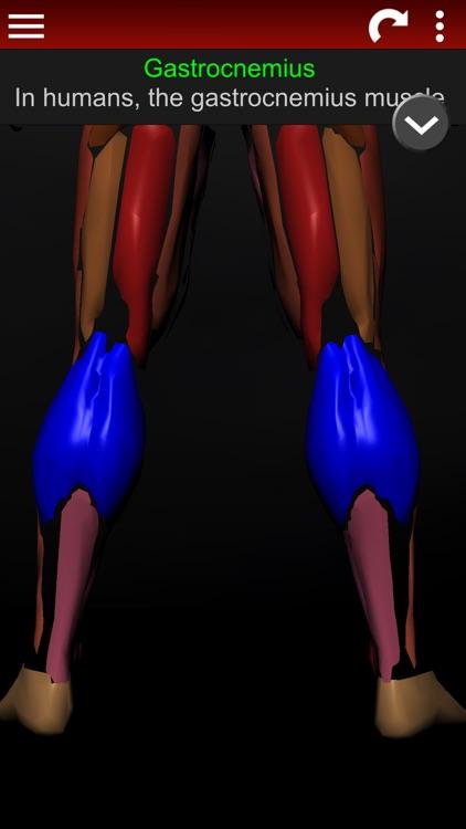 Muscular System 3D (anatomy)