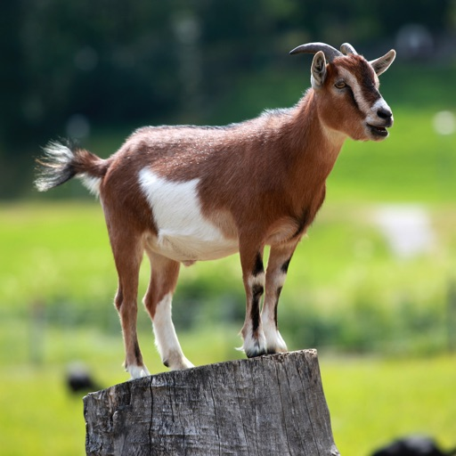 Goat Sounds - 30 Plus Sound Effects Ringtones and More