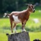 Goats are among the earliest animals domesticated by humans