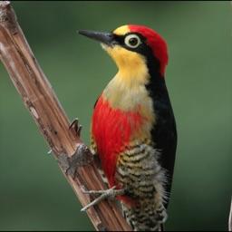 Woodpeckers Wiki