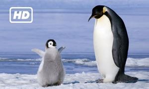 HD Penguins TV