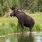 The moose (North America) or elk (Eurasia), Alces alces, is the largest extant species in the deer family