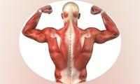 Human Muscles Info