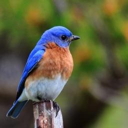 Bluebird Sounds - Bird Watching Sound Effects